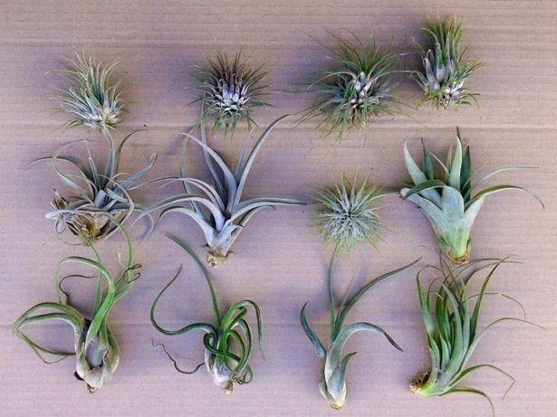 Plantas aéreas - Tillandsias várias