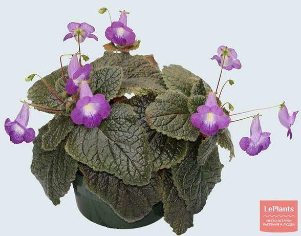 Эукодония - комнатный цветочек