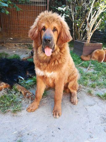Mastif Tybetański - Pies
