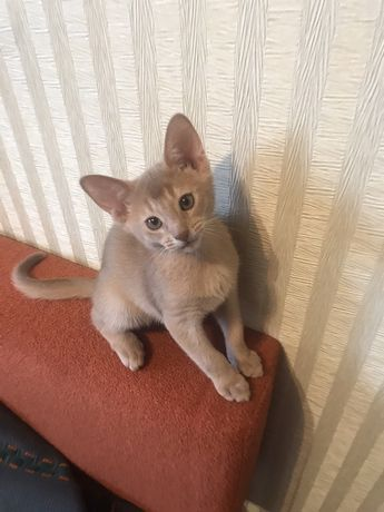 Абиссинский котенок фавн