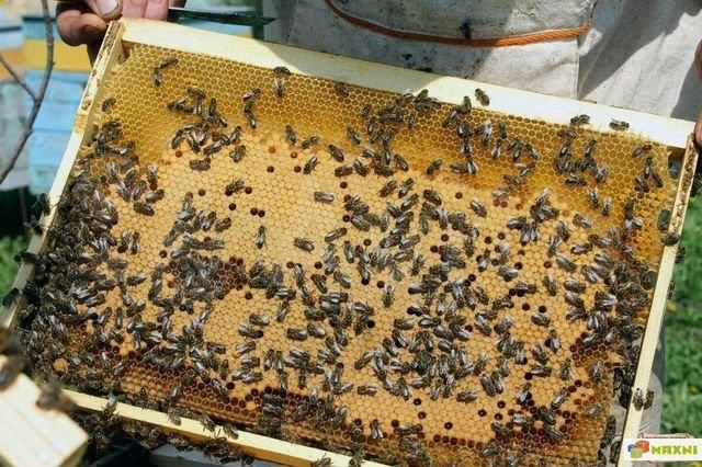 Бджоломатки. Карніка Плодные, меченые.