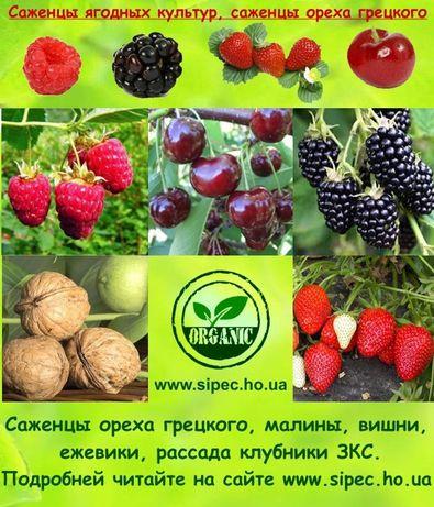 Саженцы ореха ягодных малины ежевики вишни рассада клубники ЗКС Одесса