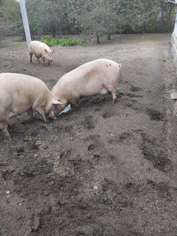 Свиня живою вагою або напівтушою