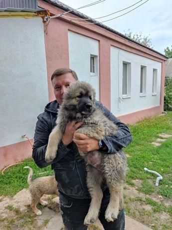 Сила Мощь Отвага Кавказская овчарка