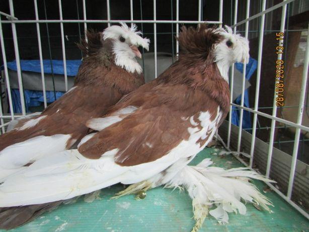turkot bucharski białogłowy, turkoty czerwone, gołębie ozdobne