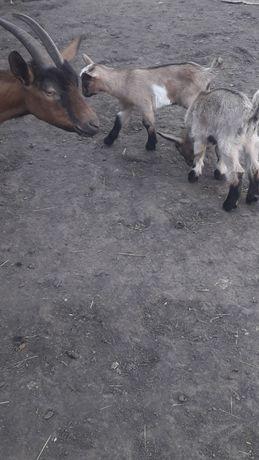 Продам козлят молочной альпийской породы