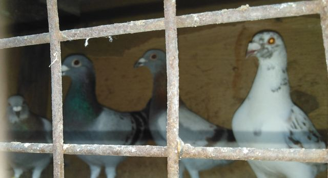 Gołębie pocztowe różne