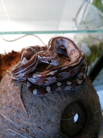 Wąż zbożowy hetero black