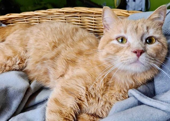 Рижий красунчик Кексик -прикраса Вашого дому! 1 рік. (кіт, кошеня)