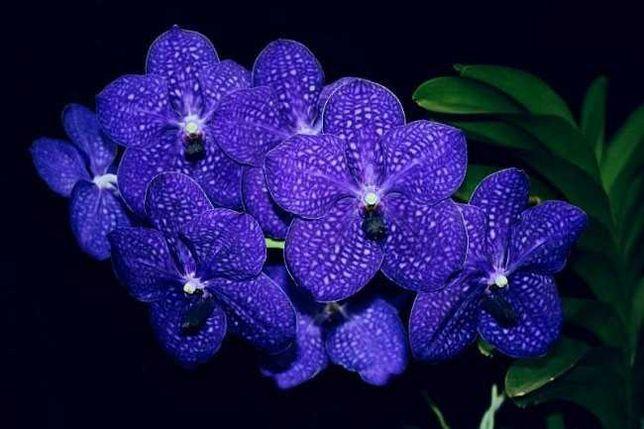 Ванда и другие орхидеи