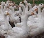 Młode kurki Nioski Kurczaki kury kaczki Gęsi Perliczki