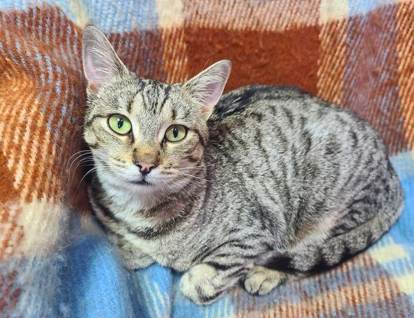 Полосата кішечка Арміна чекає на родину. 1 рік. Стерилізована. Кішка