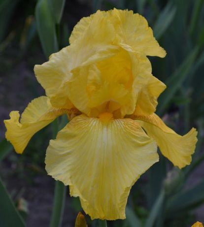 Ирисы крупные белые, жёлтые, сиренивые