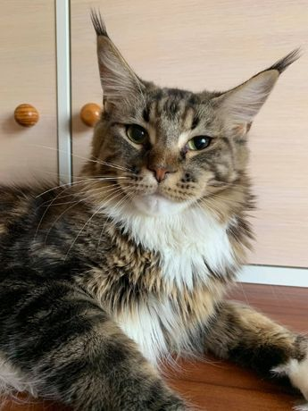 Молода кішка Мейн Кун за прийнятною ціною