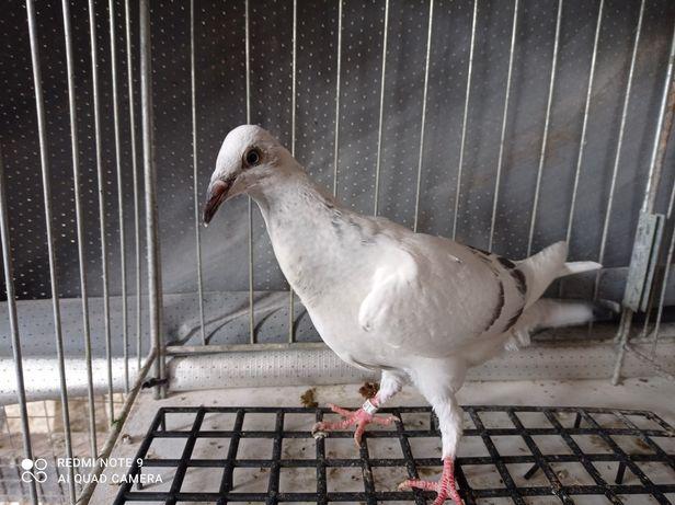 Gołębie ozdobne pasiak srebniaki