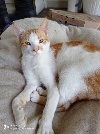 Молоденький ласковый котик 1 год, окрас рыжий с белым