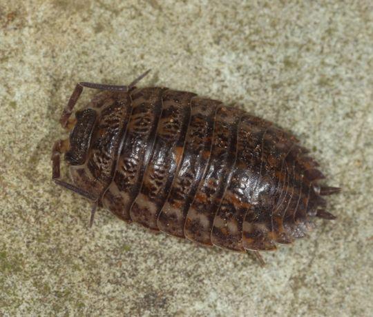Trachelipus cf. sarmaticus | Мокрицы