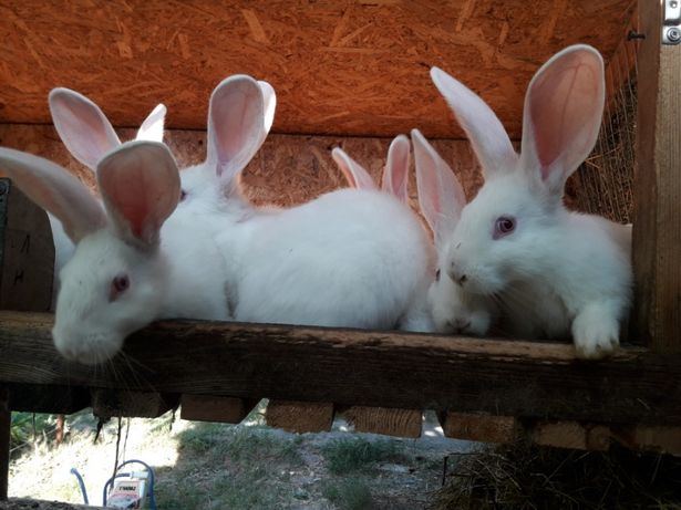 Продам кроленят Білий панон. Кролики Белый паннон