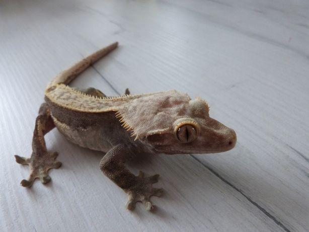 Gekon orzęsiony samiec z terrarium