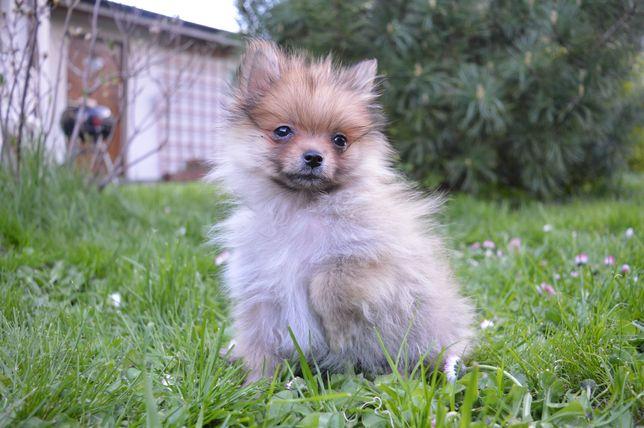 Pomeranian wyjątkowa mini SUNIA