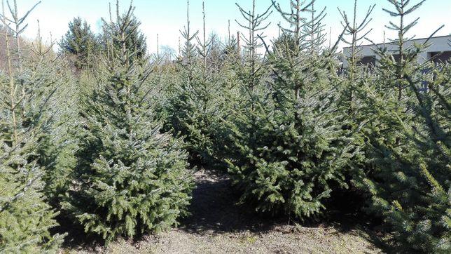 Świerk serbski - Picea omorica 3-3,5-4 m. SADZIMY