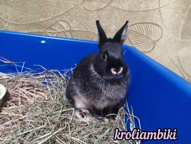 Карликовые кролики , торчеушки, декоративные кролики
