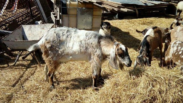 Koza Capek Anglonubijski