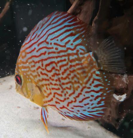 Discus red turquesa 12cm