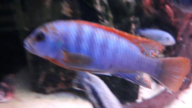 Labidochromis hongi pyszczaki
