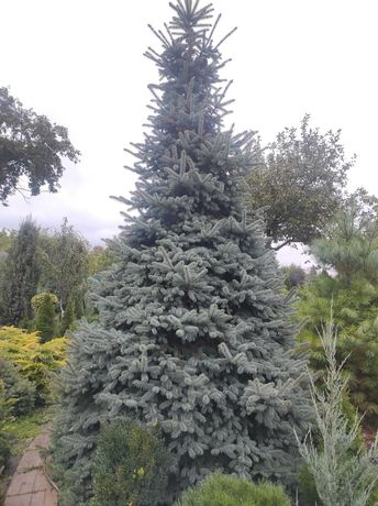 Ели голубые , сизые, зеленые очень пушистые  до 6,20 метра