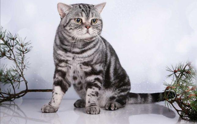 Взрослая шотландская кошка