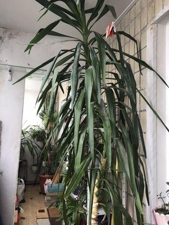 Растение Юка