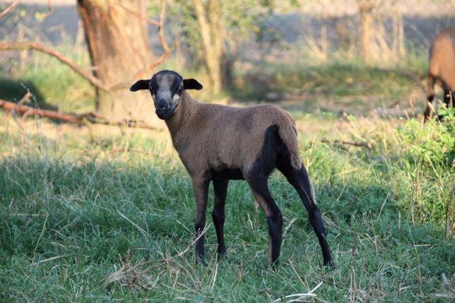 Sprzedam młode owce kameruńskie