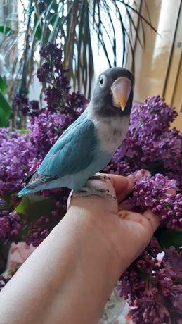 Улетел попугай неразлучник
