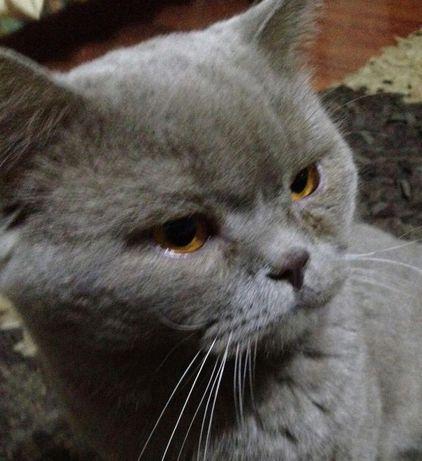 Шотландский прямоухий кот приглашает на вязку