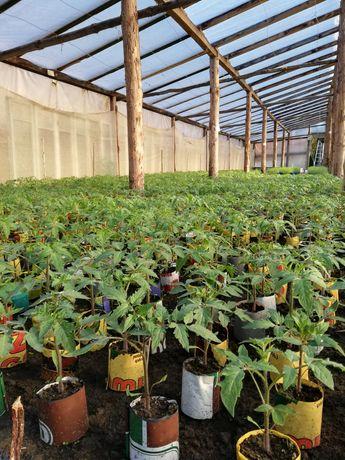 Sadzonki pomidorów i rozsada warzyw, ziół