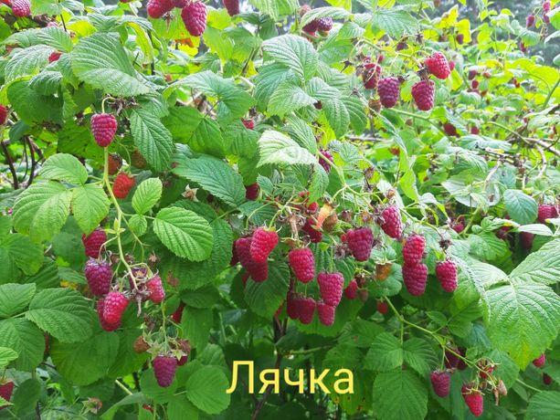 Саджанці малини та ожини (Ожина)