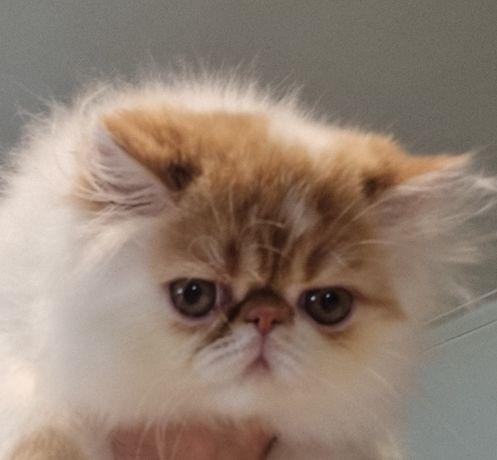 Lindo gatinho persa