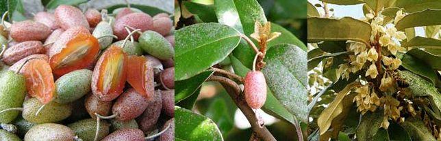 Silverberry / elaeagnus ebbingei