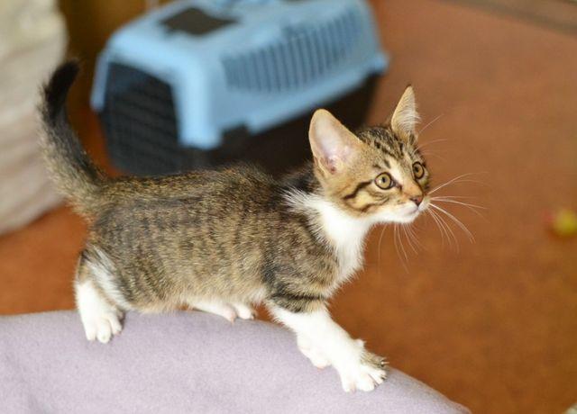 Полосатая котенок-кошечка Мушка ищет свой Дом 2 мес (котик, котята)