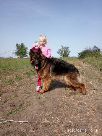 Длинношерстная девочка немецкой овчарки ксу.