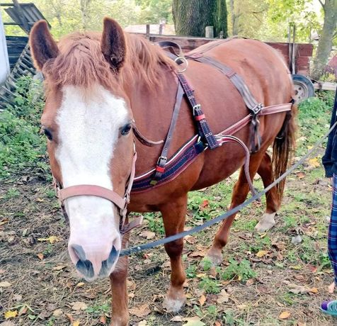 Упряж на коня  шлея шлия нарытник пішора шорка хама піддупки
