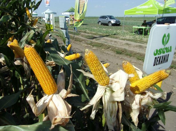 Nasiona kukurydzy kukurydza DEKANIA ziarno kiszonka FAO 280
