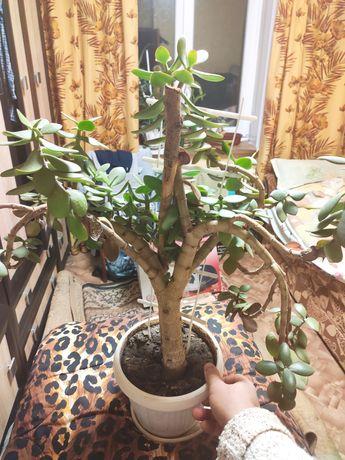 Денежное дерево красулла хобит