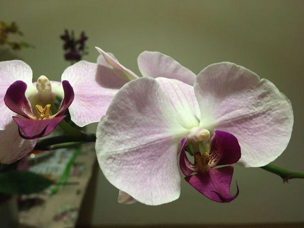 Орхидея стандарт.