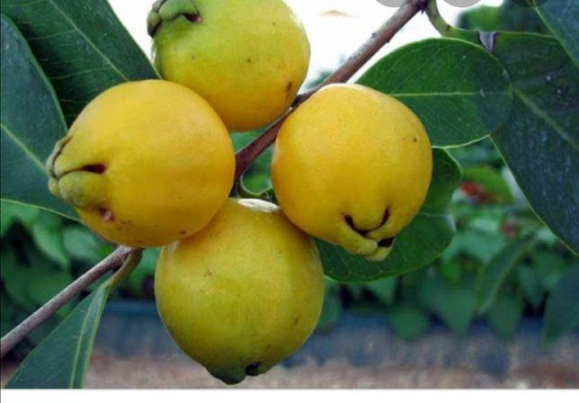 Plantas frutíferas de excelência