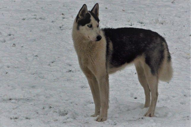 Zaginął pies zaginęły psy poszukujemy poszukiwany szukamy husky lajka