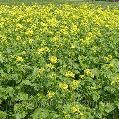 Семена Горчица Желтая сидерат