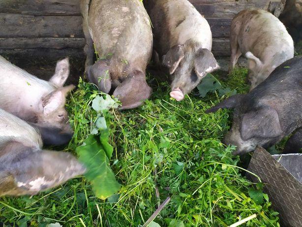 Свині жива вага
