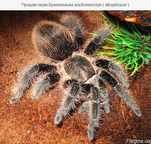 паук brachypelma albopilosum брахипельма с набором корм субстрат